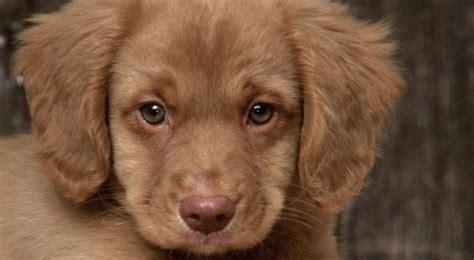 Non Shedding Cross Breed Dogs by Comment V 233 Rifier La Vue De Votre Chiot Chien De Race