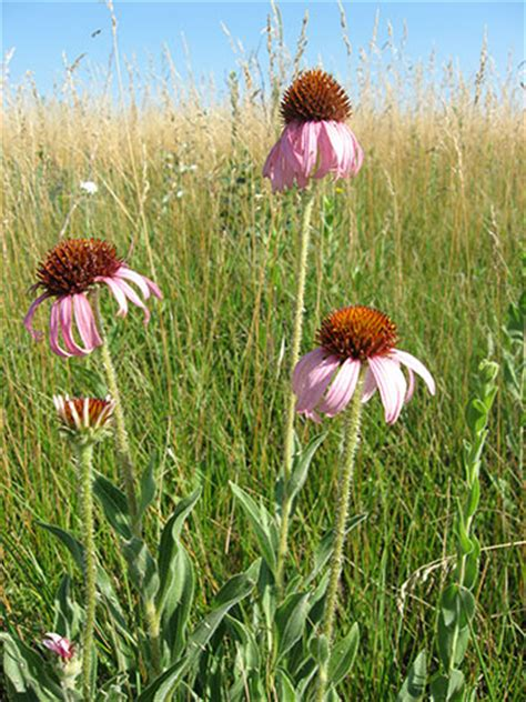 flowering prairie plants books saving our prairies a landscape conservation