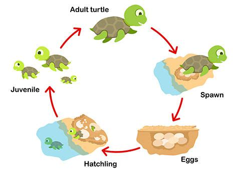 cycle of a turtle diagram sea turtles