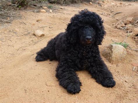 mini poodle grown poodle grown black www pixshark images