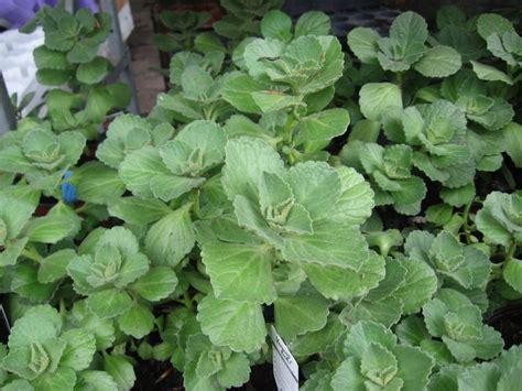 Verpiss Dich Pflanze Kaufen 3259 by Harfenstrauch Kaufen Pflanzen F 252 R Nassen Boden
