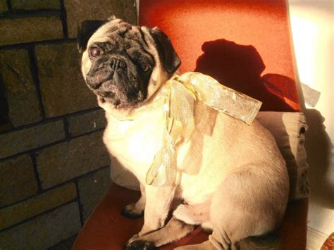 pug puppies for sale dundee kc registered pedigree pug dundee angus pets4homes