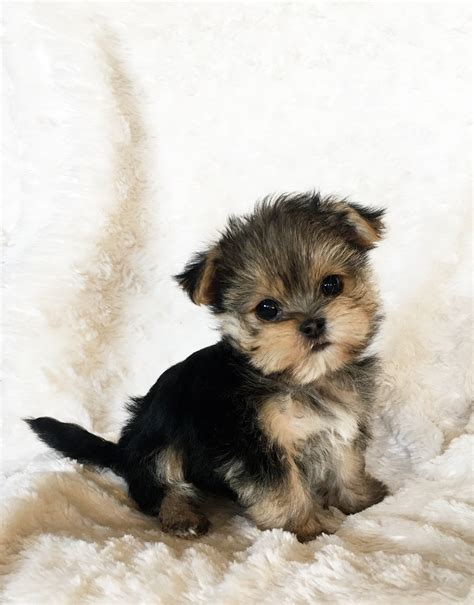 puppies for sale california puppies for sale in california breeds picture