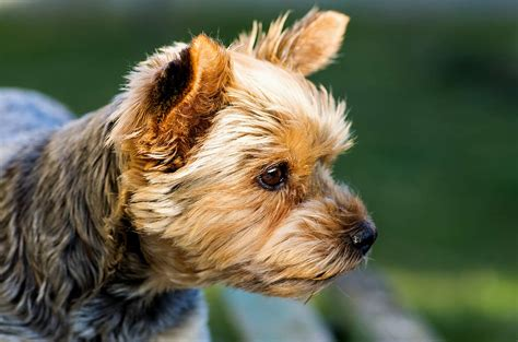 do yorkies have thick hair or then hair yorkshire terrier dogs breed information omlet