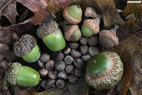 dogs acorns can dogs eat acorns about doggies