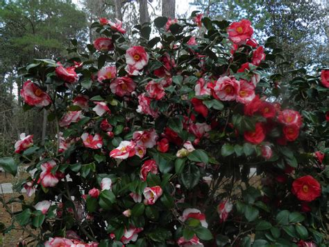 camellia flowering shrub plants flowers 187 camellia japonica