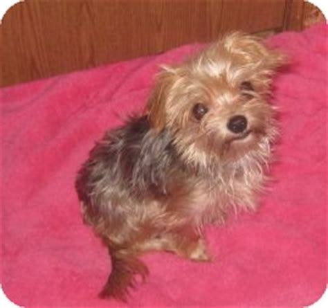 yorkie rescue houston on hold adopted rescue houston tx yorkie terrier