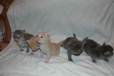 litter 1 kittens 3 weeks old purrfect siberians