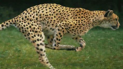 imagenes de jaguares para dibujar slow motion hd guepardo youtube