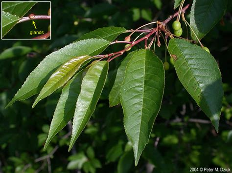 cherry tree leaves prunus pensylvanica pin cherry minnesota wildflowers