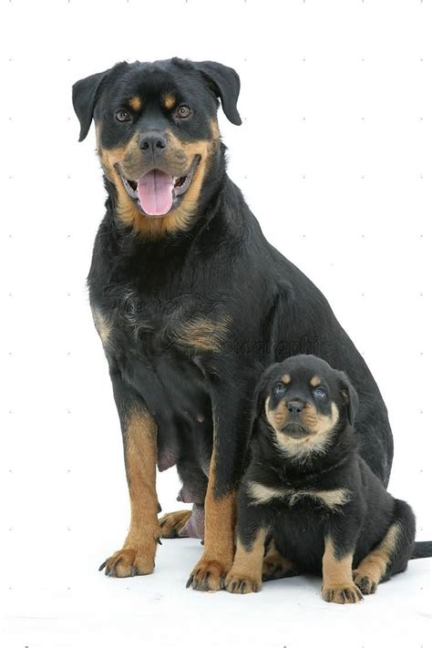 rottweiler with 55 fantastic rottweiler and puppies golfian
