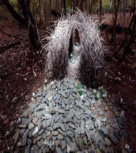 uccello giardiniere il portale italiano dell ornitofilia v a l uccello
