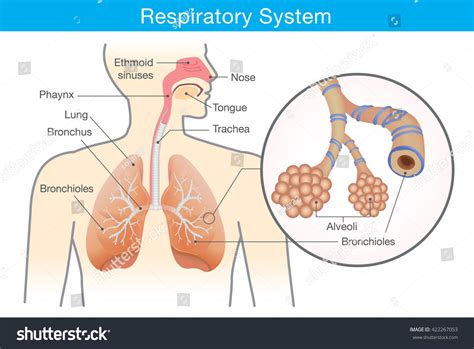 images of the respiratory system respiratory system in human being hd image organ anatomy