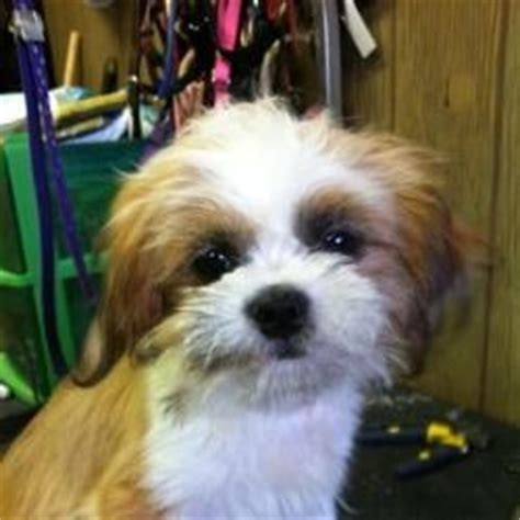 Shih Tzu Shedding Problems by 20 Best Images About Non Shedding Dogs On