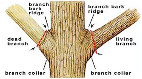 how to cut a tree diagram how to prune a tree tree care kit