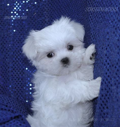baby maltese puppies baby maltese puppy images