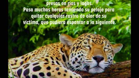 imagenes de jaguar en peligro de extincion el jaguar un animal en peligro de extinci 243 n youtube
