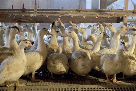 best backyard ducks the physiology of foie why foie gras is not unethical