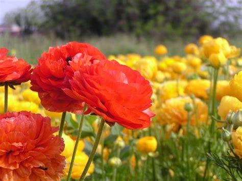 ranuncolo fiore ranuncolo ranunculus asiaticus ranunculus asiaticus
