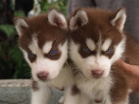 husky puppies adoption blue eye siberian husky puppies for sale adoption from selangor klang adpost