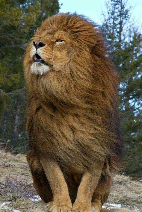 imagenes de leones raros pin de sheila de leon en leones pinterest grandes