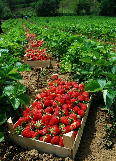 the dirty secret behind organic strawberries starter plants are fumigated with pesticides