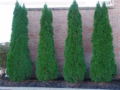 Landscaping Ideas Emerald Green Arborvitae 25 Best Thuja Occidentalis Ideas On Privacy