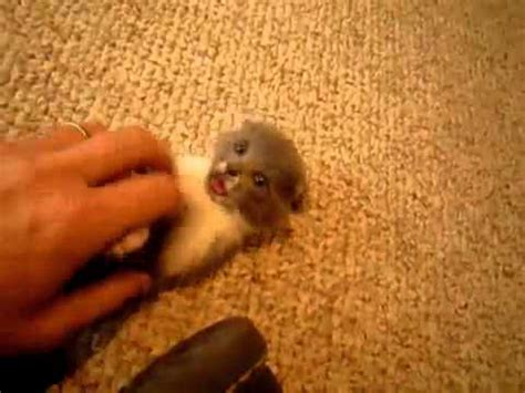 super small super tiny and cute kitten must see very cute youtube