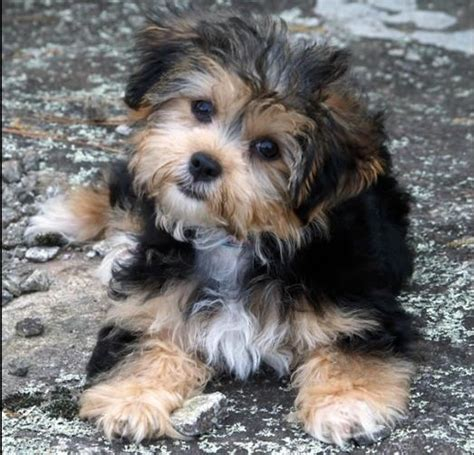 shih tzu yorkie mix hypoallergenic shih tzu yorkie mix i m dying i want it animals yorkie shih tzu