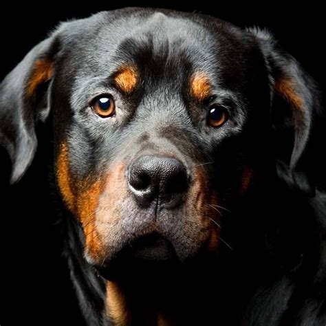 names for rottweilers rottweiler names and names for rotties beautiful and rottweilers