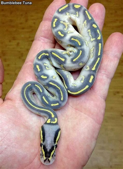 reduced pattern pastel ball python 25 best ideas about snake tanks on pinterest reptile