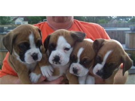 boxer puppies for sale in tennessee boxer puppies in tennessee