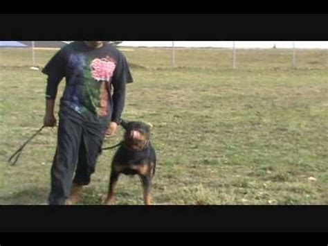rottweiler competition bite competition between rottweiler german shepherd and pitbull how to make
