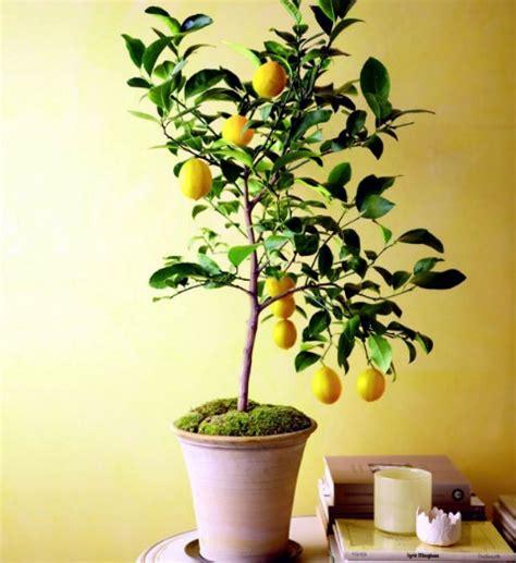 jual tanaman buah  pot tabulampot murah