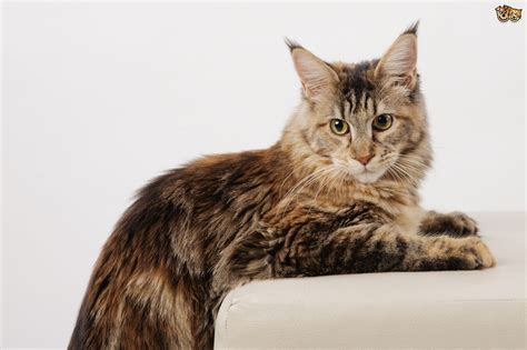 domestic breeds the top 8 largest domestic cat breeds pets4homes