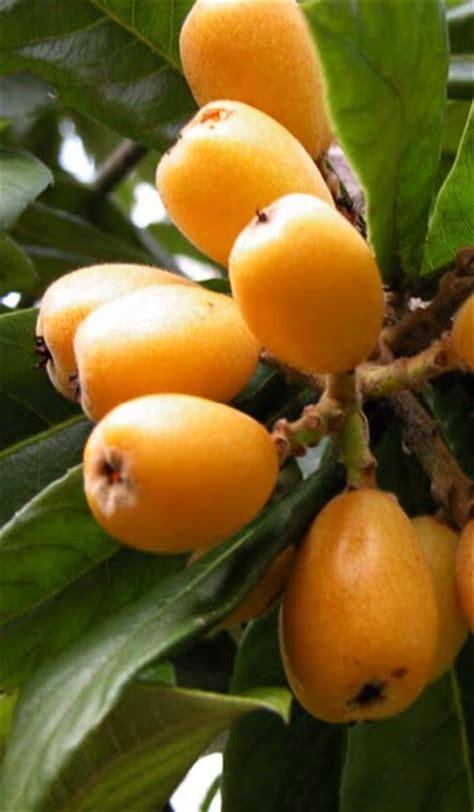 fruit in japanese loquat japanese plum tree