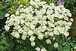 wille bolvormige bloem playfull garden collection piet oudolf collection
