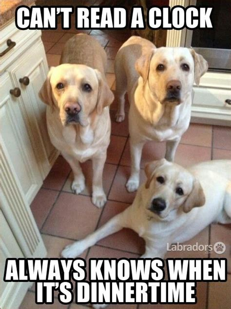 Labrador Meme - 1361 best chocolate labs and dog quotes memes images on