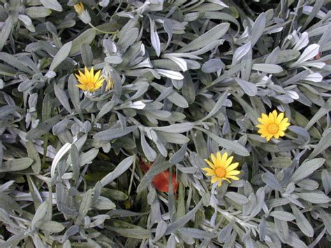 Sun Flower Syari Grey Abu grey leaved plants for a silver palette garden in south africa