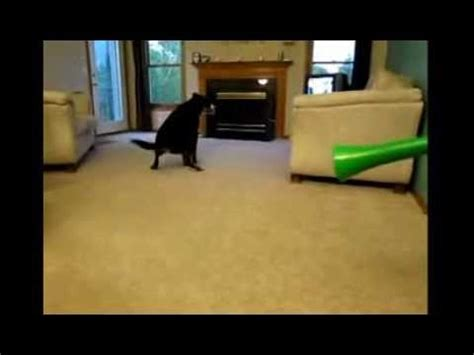cute dog scared   vuvuzela poops   carpet youtube