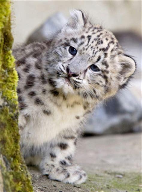 Jual Kostum Anak Lucu Macan Tutul lucunya anak macan tutul gosip gambar