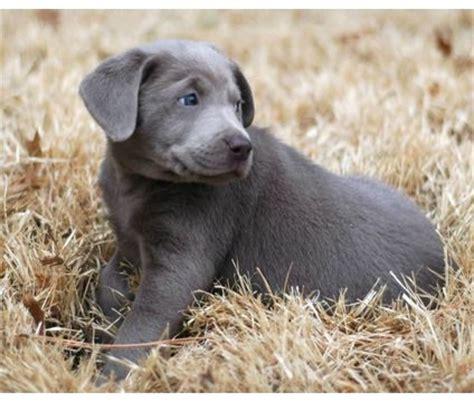 lab puppies for sale in richmond va silver labrador retriever puppies for sale in va dogs in our photo