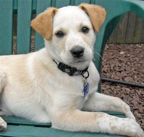 australian cattle lab mix australian cattle lab mix puppy pups labs lab mix puppies and