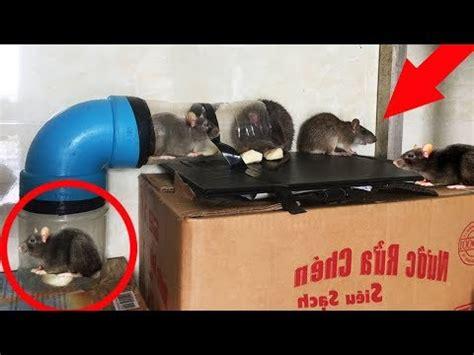 Membuat Perangkap Tikus Rumahan | membuat perangkap tikus sederhana untuk sawah doovi