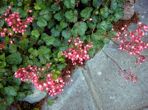 coral bells coral bells flowers how to grow coral bells