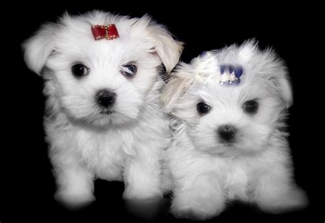 maltese puppies for sale in tn pictures of maltese puppies maltese puppies for sale in ny silver brook maltese