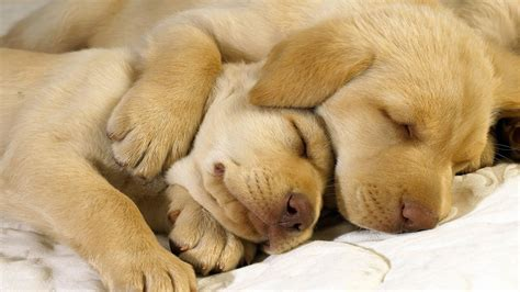 sleeping golden retriever golden retrievers sleeping my rocks