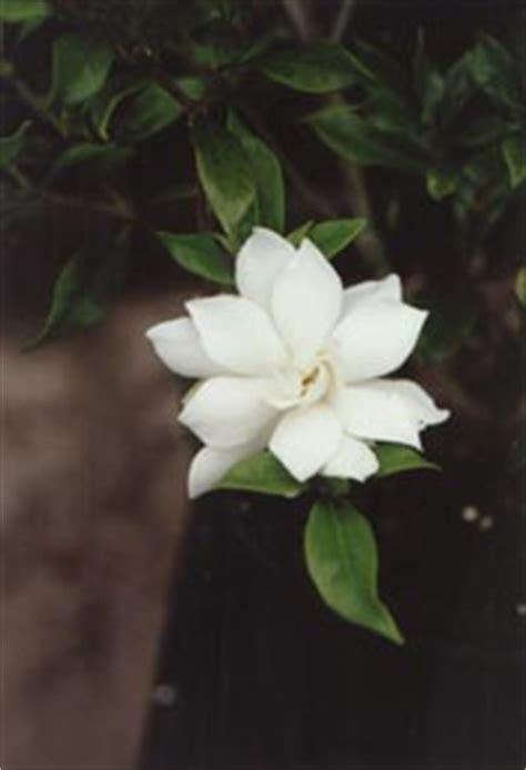gardenia  seasons