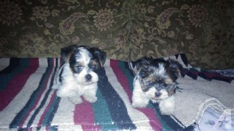 biewer yorkie for sale in ga ckc biewer yorkie for sale in cleveland classified americanlisted