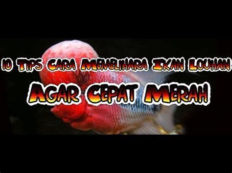 Pakan Ikan Louhan Supaya Merah 10 tips cara memelihara ikan louhan agar cepat jenong